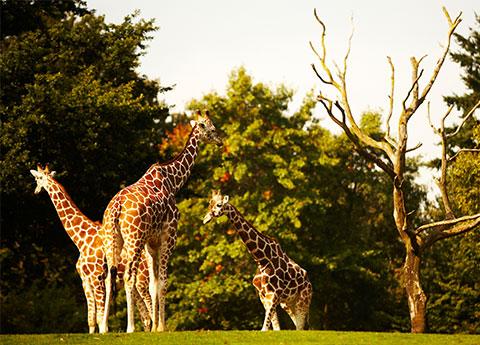Safari West at California